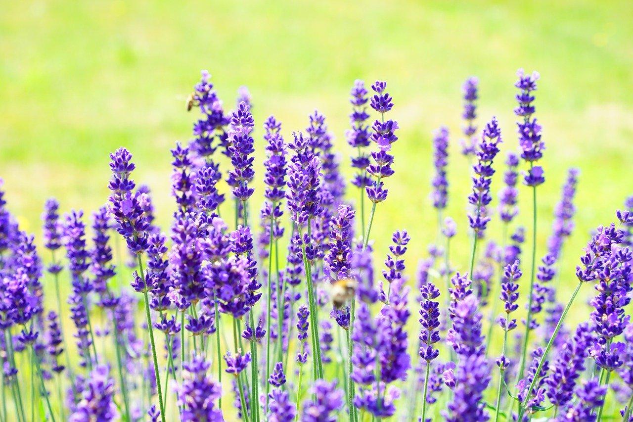 lavendel gegen haarausfall