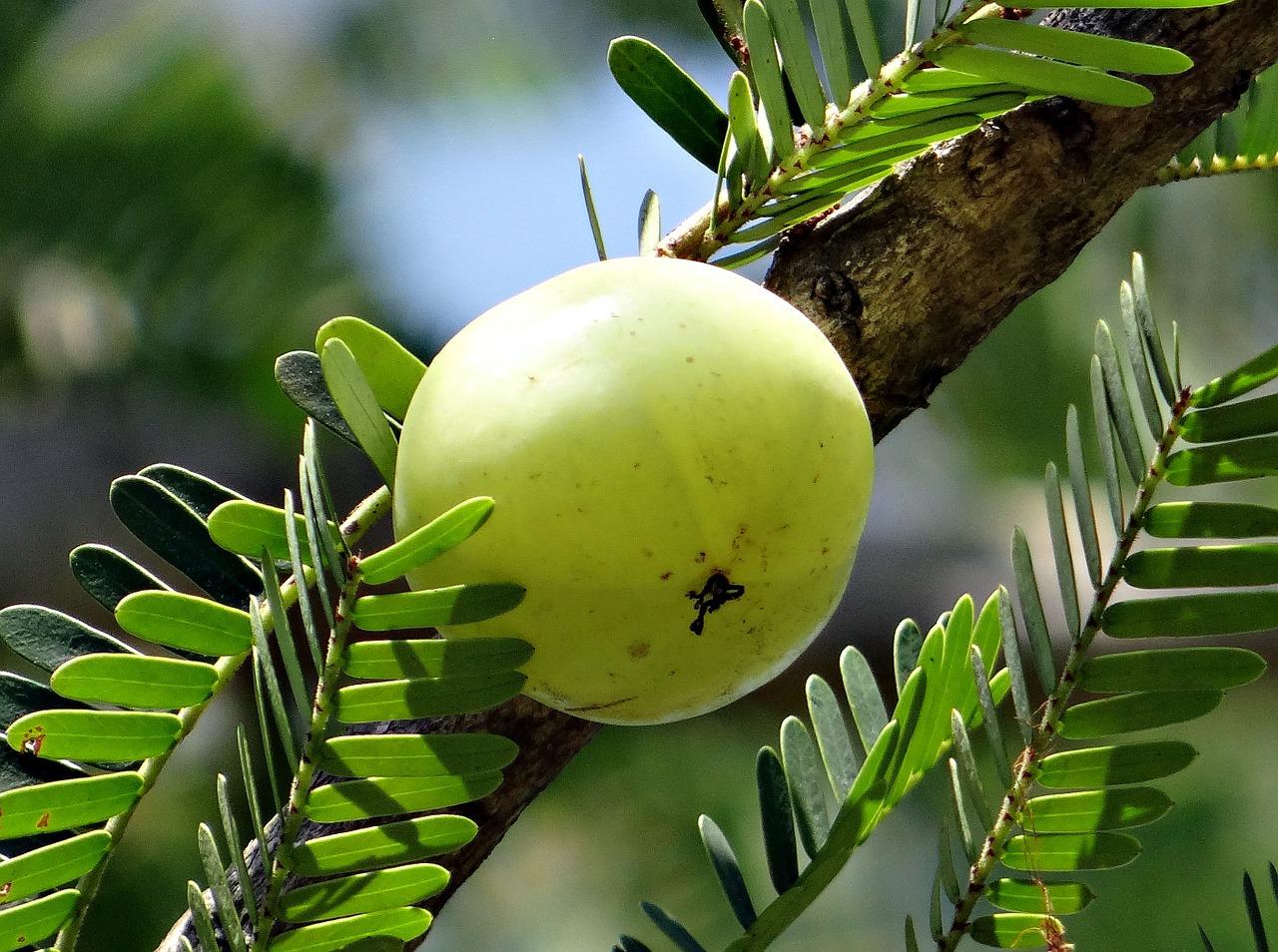 Feigenkaktus ist ein Bestandteil von Vatika Haaröl