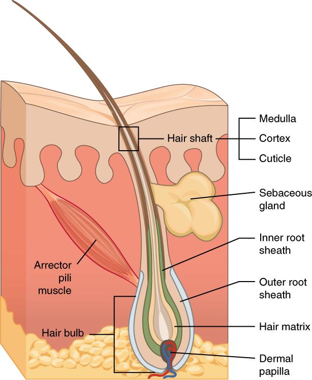 Papillarkörper Haarausfall