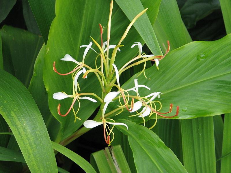 Hedychium spicatum vatikaöl