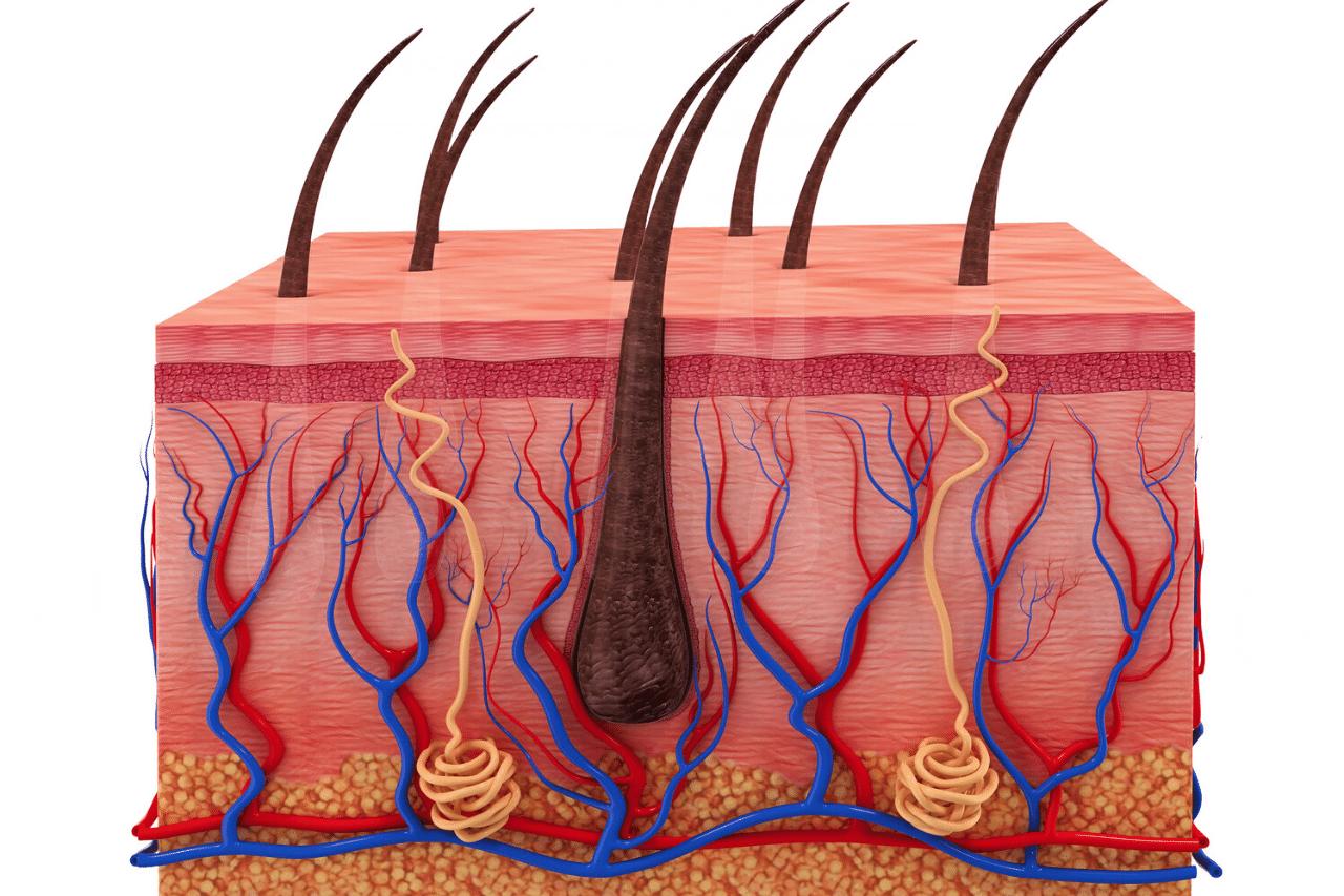 struktur des haars